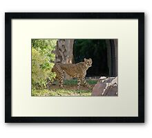 Cheetah Hunt Framed Print