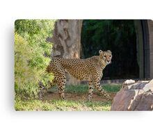 Cheetah Hunt Canvas Print