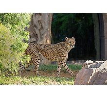 Cheetah Hunt Photographic Print