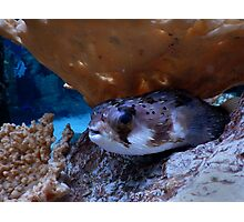 Hiding Puffer Fish Photographic Print