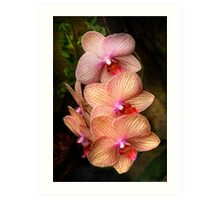 Phalaenopsis - A set of beauties Art Print
