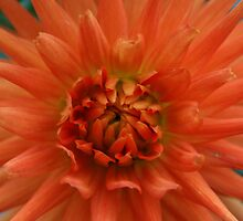 Dahlia by Tony Waite