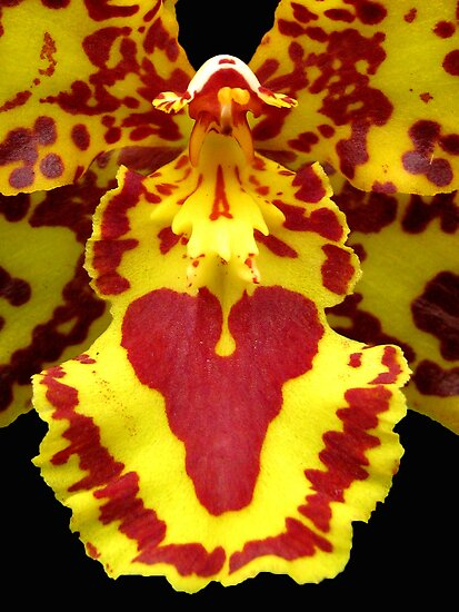 Orchid's heart by Gili Orr