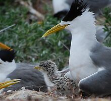 Crested Tern With Chick by Fred  Smith