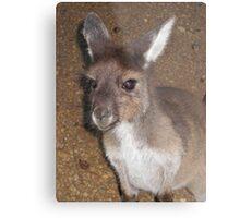 Young kangaroo Metal Print