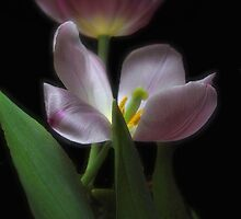 Lavender by longshot