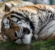 Siberian Tiger Sleeping by pms32