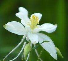 White Columbine by Ryan Houston