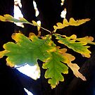 Suspended Oak Leaf by Pamela Hubbard