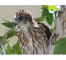 Baby Coopers hawk Photographic Print