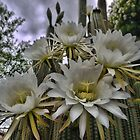 A Trichocereus Morning by Larry Lingard-Davis
