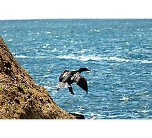 The Flight of the Great Cormorant Photographic Print