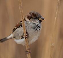 House sparrow (Passer domesticus) by Gabor Pozsgai
