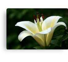 Shining Lily Canvas Print