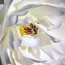 White Rose by ctheworld