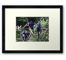 Blue Macaws Framed Print