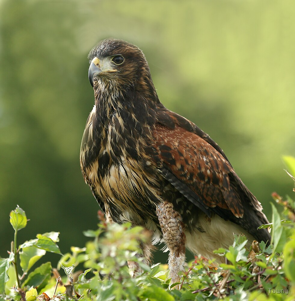 The Harris Hawk by Tawny
