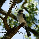 BlueJay by NIC1D