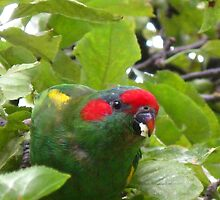 Musk Lorikeet by Marilyn Harris