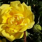 Yellow rose by David owens