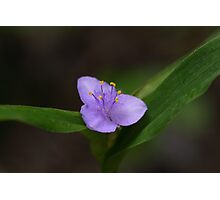 Spiderwort Photographic Print