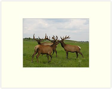 Three Bull Elk by Irene Clarke