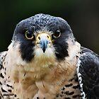 Hawk Eyes by BluAlien