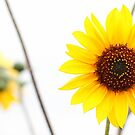Sun Flowers by Anthony Wratten