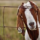 Goat #143 by Anthony Wratten