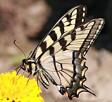 Tiger Swallowtail by BigD