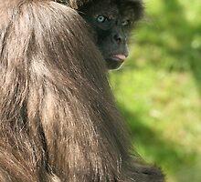 Variegated Columbian Spider Monkey (Ateles belzebuth hybridus) - Twycross Zoo by amjaywed