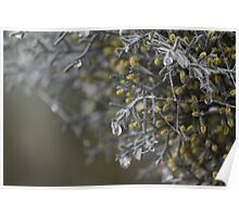 dew on pine trees in winter Poster