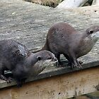 Asian Otters by Stuart Woodcock