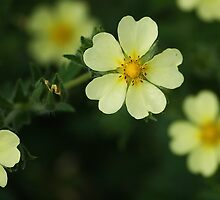 Buttercups? by Cheri Perry