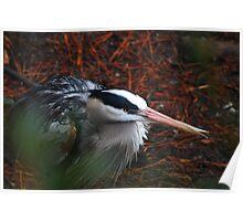 Injured Great Blue Heron Poster