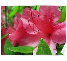 azalea blossums 2 Poster