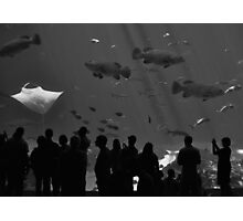 4 Groupers and a Manta (B&W) Photographic Print