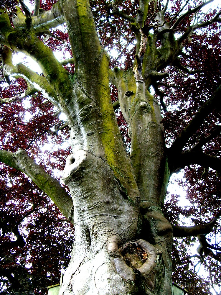 Looking up the Elephant Tree (Copper Beech) by hilarydougill