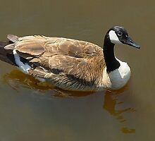 Canadian Goose by Laura S