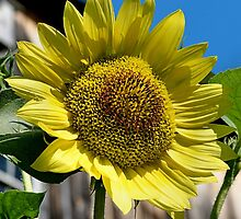 Sunflower by DJ Florek