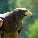 Hawk by Lolabud