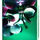 Purple Orchid by Sophie Watson
