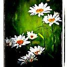 Daisy love by Sophie Watson