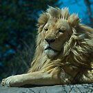lion by jude walton