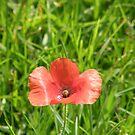 Poppy flower by mikequigley