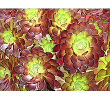 Old Hens & New Chicks Photographic Print