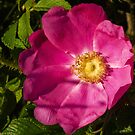 Wild Rose of Summer by David Friederich