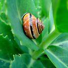 Garden Snail by HELUA