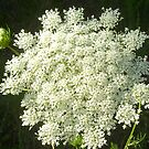 Queen Anne&#x27;s Lace by Thomas Josiah Chappelle