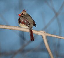 Female Cardinal at Dusk by hummingbirds